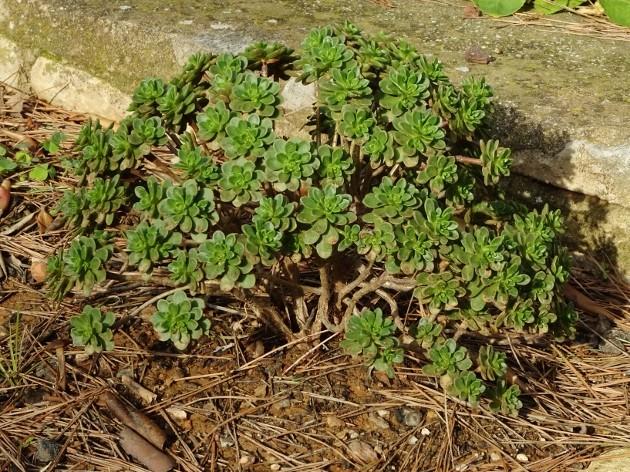Aeonium spathulatum et A. ?? [identification non terminée] 021_6311