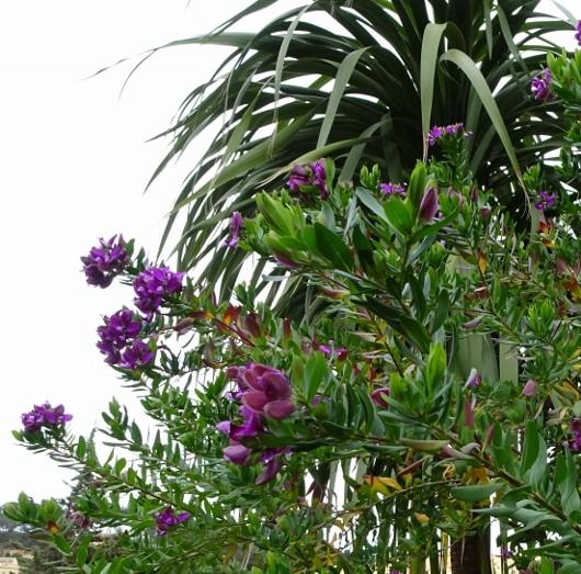 Cordyline australis 024_5311
