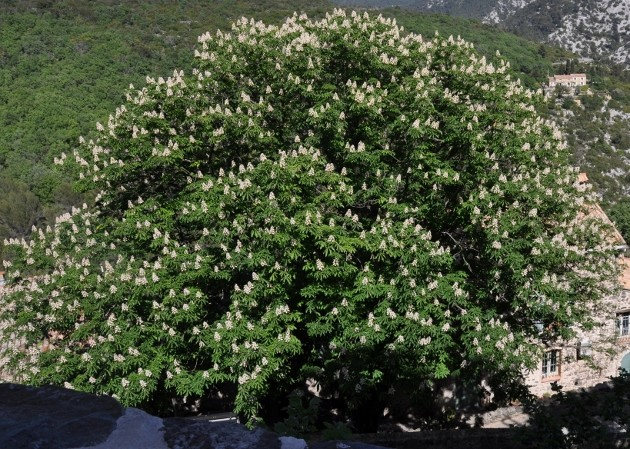 Aesculus hippocastanum - marronnier 024_6311