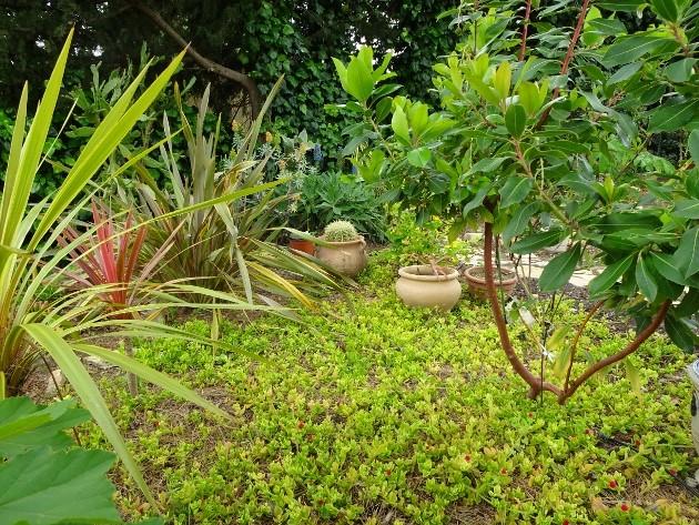 Aptenia cordifolia = Mesembryanthemum cordifolium 025_6310
