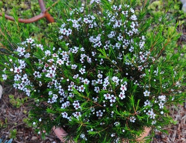 Chamelaucium uncinatum - fleur de cire 026_6311