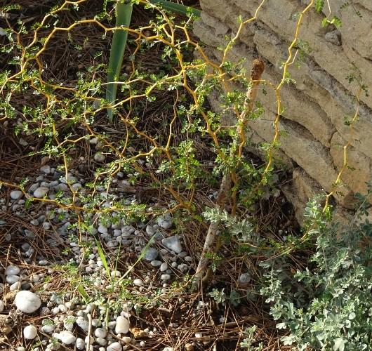Sophora prostrata 'Little Baby' 031_5310