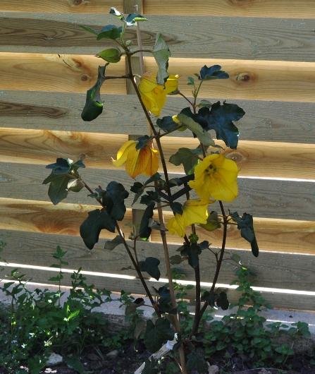 Fremontodendron californicum - Page 2 043_4410
