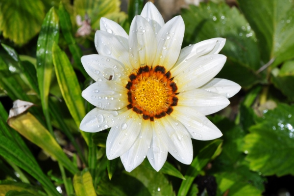 Gazania - espèces et cultivars 044_6010