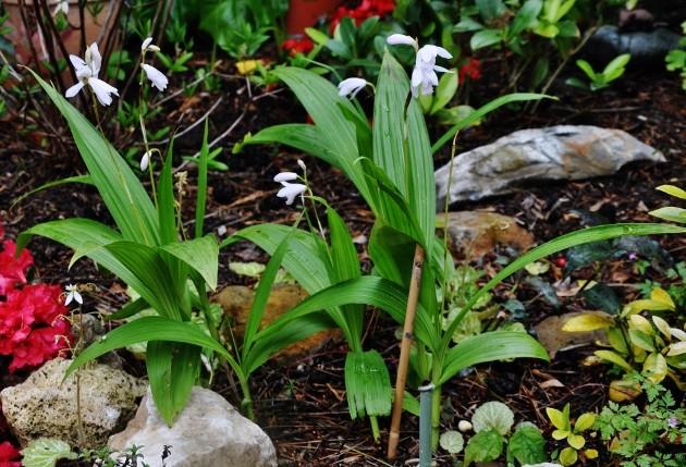 Bletilla striata - orchidée du Japon - Page 4 070_6311