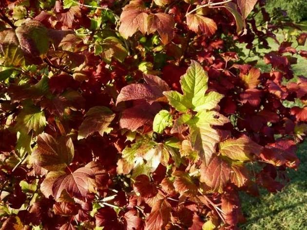 Viburnum opulus - viorne obier 1er_oc10