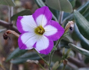 pétunia - Petunia - les pétunias (hybrides, cultivars...) 2014-011