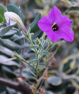 pétunia - Petunia - les pétunias (hybrides, cultivars...) 2014-012