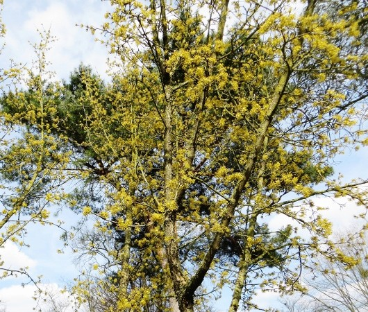 Cornus mas - cornouiller mâle Avril_12