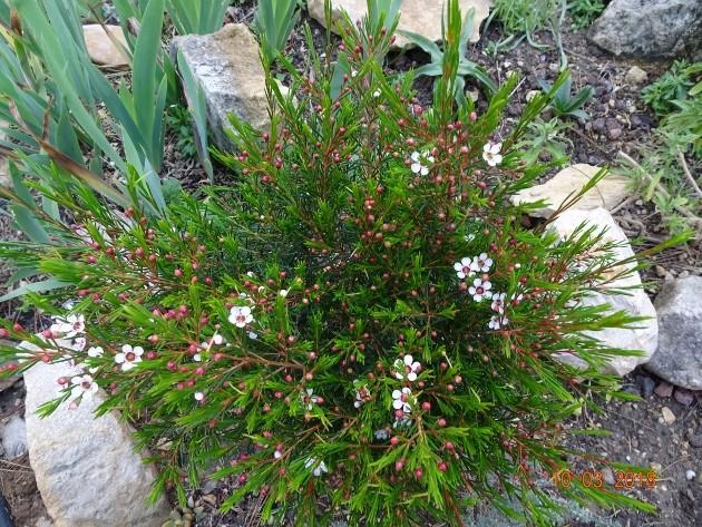 Chamelaucium uncinatum - fleur de cire Balade11