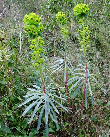 Euphorbia characias - Page 2 Balade13