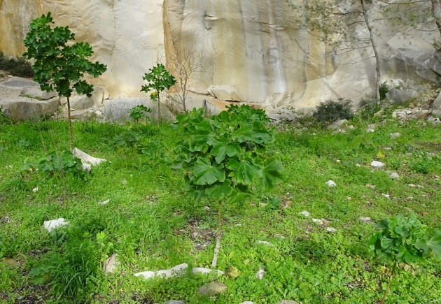 Malva arborea (= Malva dendromorpha) - mauve en arbre - Page 2 Balade15