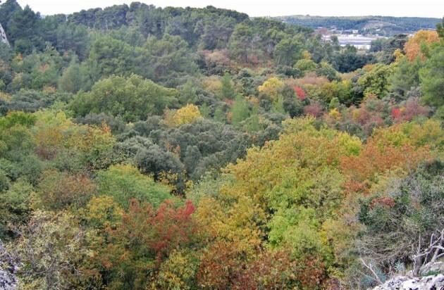 Acer monspessulanum - érable de Montpellier - Page 2 Baurou10