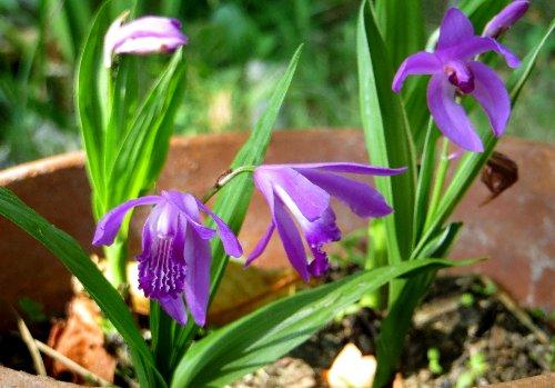Bletilla striata - orchidée du Japon - Page 4 Bletil10