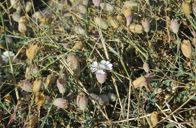 Silene uniflora ssp uniflora - silène maritime  Bretag11