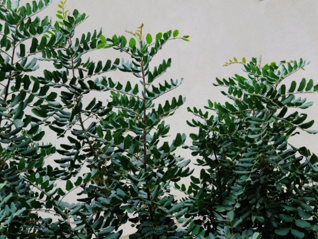 Ceratonia siliqua - caroubier Chats_10