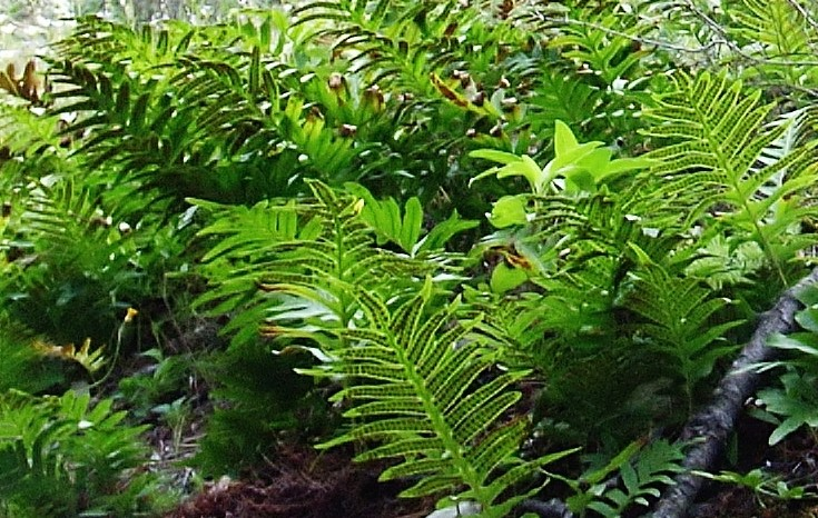 Polypodium groupe vulgare - polypode commun Chayne10