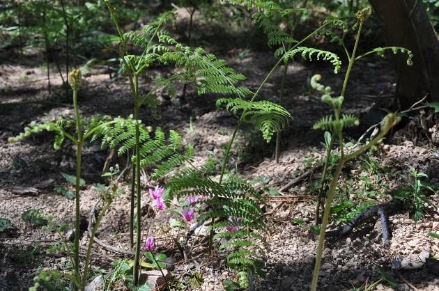 Pteridium aquilinum - fougère Aigle  Corse_11