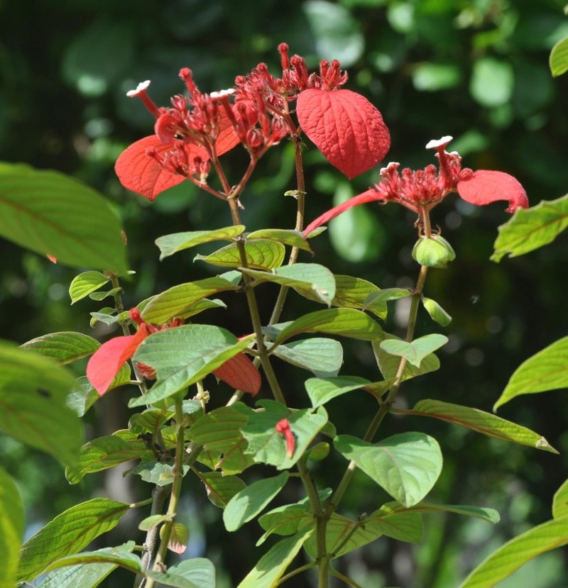 Euphorbia pulcherrima (= Poinsettia pulcherrima) - étoile de noël - Page 2 Costa_12