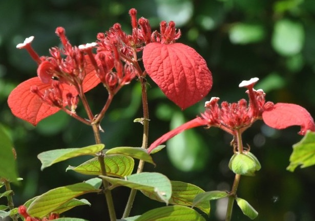 Mussaenda erytrophylla Costa_16