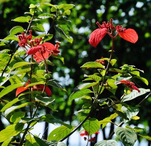 Mussaenda erytrophylla Costa_17