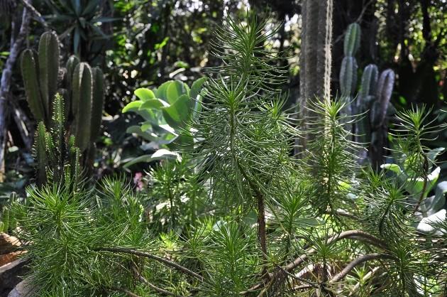 Kleinia neriifolia (= Senecio kleinia) - Page 2 Costa_26