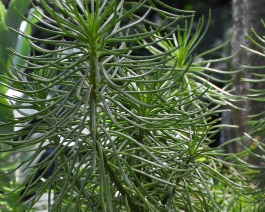 Kleinia neriifolia (= Senecio kleinia) - Page 2 Costa_27