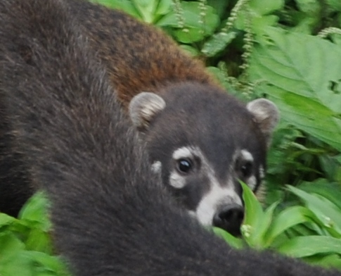 Coati à nez blanc - Devinette  petit animal à poil trouvée Costa_28