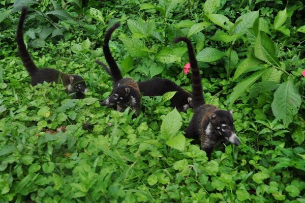 Coati à nez blanc - Devinette  petit animal à poil trouvée Costa_30