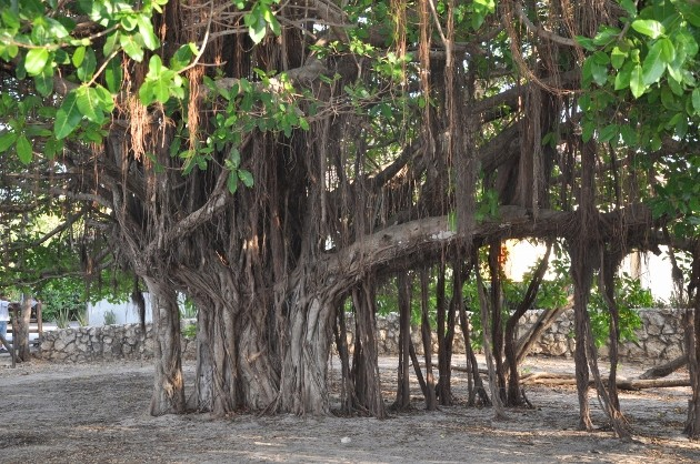 Ficus benghalensis Costa_33