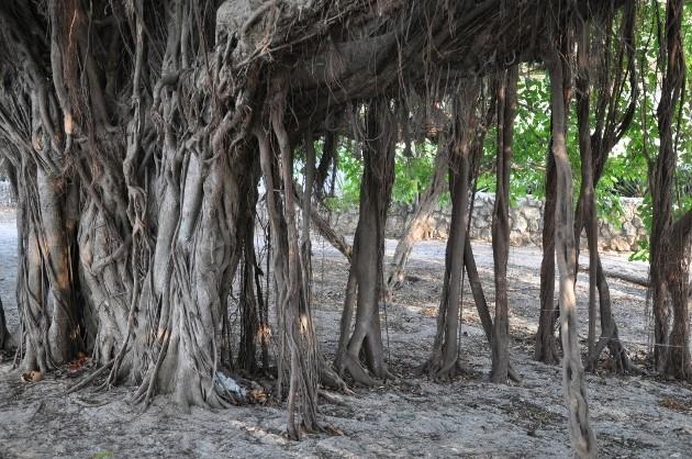 Ficus benghalensis Costa_34