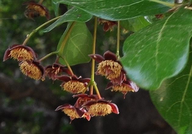 Sloanea terniflora [identification] Costa_35