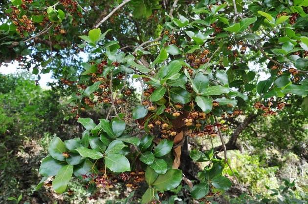 Sloanea terniflora [identification] Costa_37
