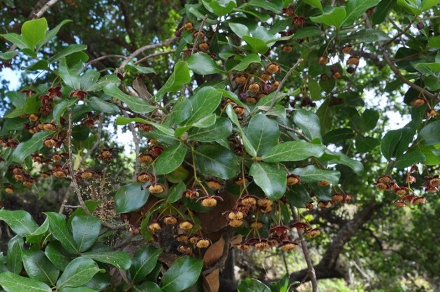 Sloanea terniflora [identification] Costa_38