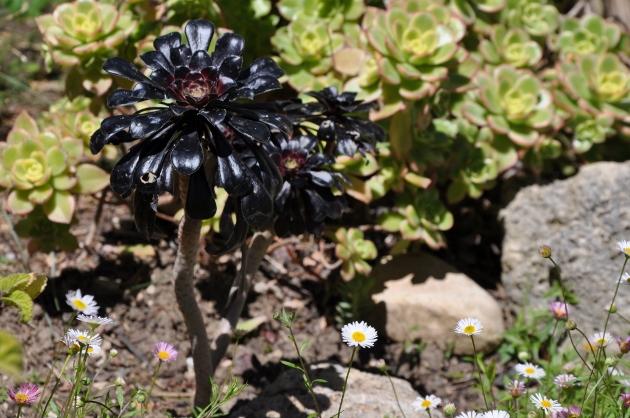 Aeonium arboreum 'Zwartkop' Dsc_0510