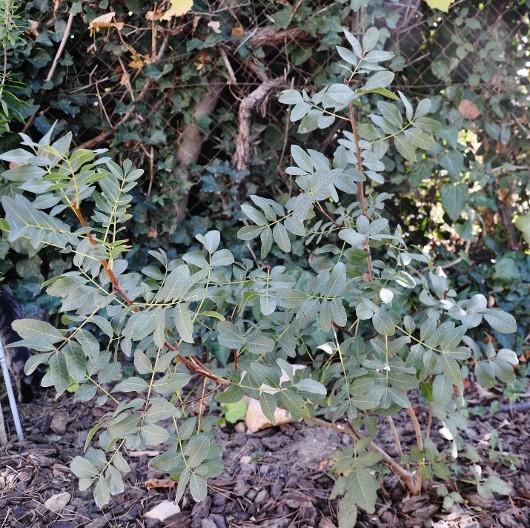 Pistacia terebinthus - pistachier térébinthe - Page 2 Dsc_0610