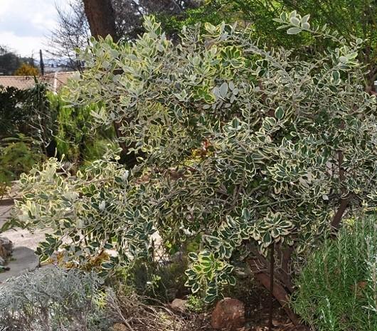 Metrosideros kermadecensis variegata Dsc_0714