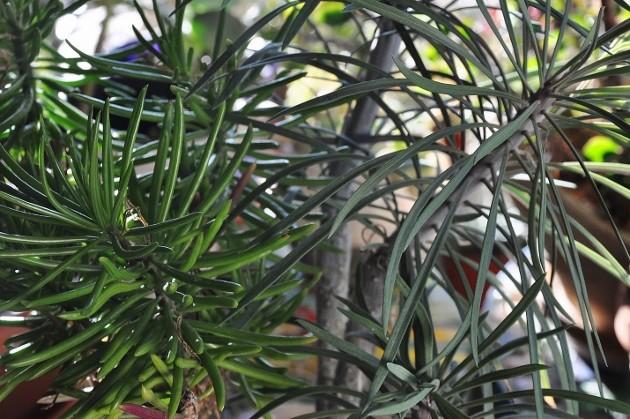 Kleinia neriifolia (= Senecio kleinia) - Page 2 Dsc_0720
