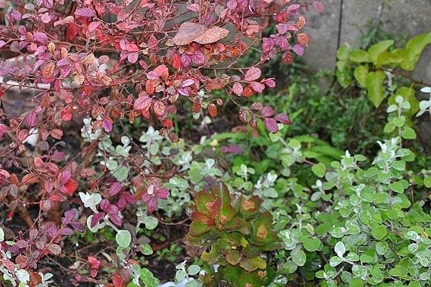 couleurs d'hiver au jardin  - Page 2 Dsc_0815