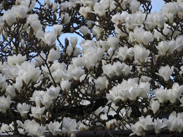 Magnolia denudata [Identification] Enfant11