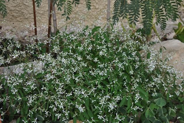 Euphorbia hypericifolia 'Diamond Frost' Euphor10