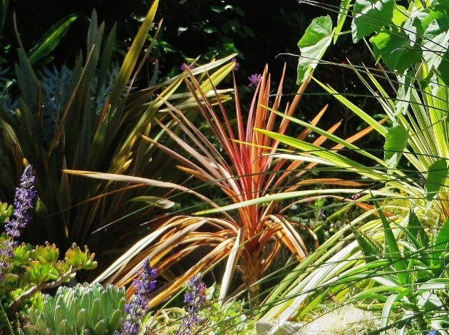 cordyline - Cordyline 'Red Star' Fleurs12