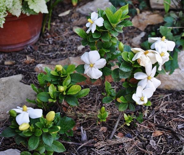 Gardenia jasminoides 'Kleim's Hardy' - Page 3 Florai11
