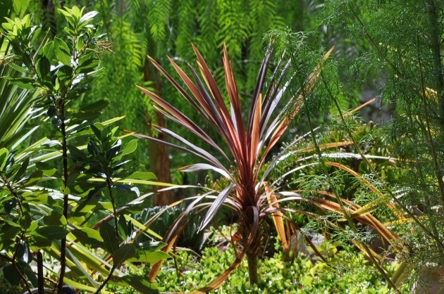 cordyline - Cordyline 'Red Star' Flore_13