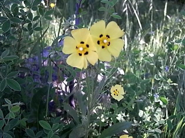 Tuberaria guttata - hélianthème à gouttes Hylian11