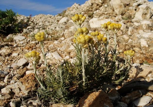 Helichrysum stoechas Hylycr10