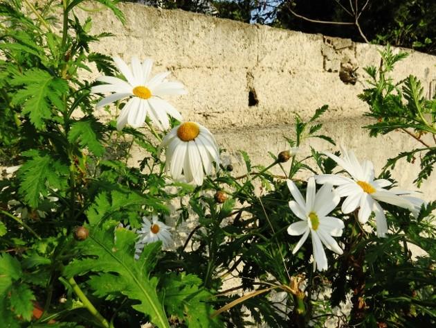 Argyranthemum pinnatifidum  Img_4114