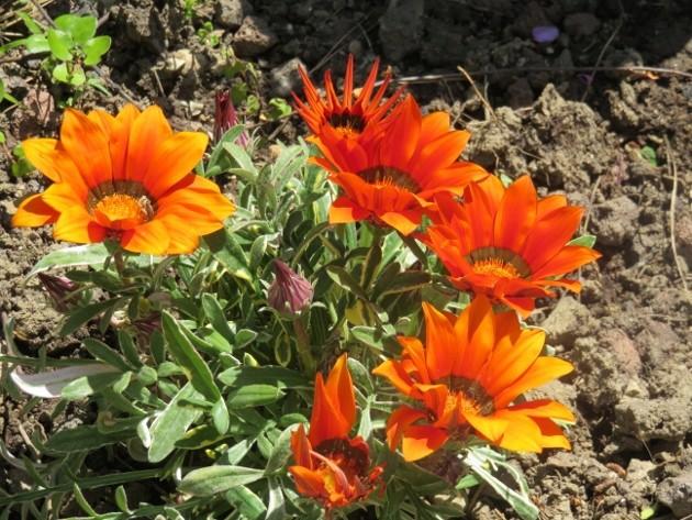Gazania - espèces et cultivars Img_5010