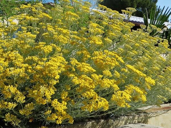Helichrysum stoechas Img_6010