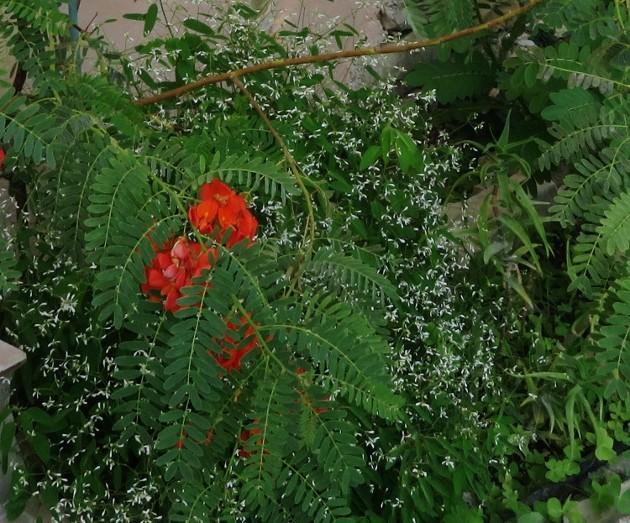 Euphorbia hypericifolia 'Diamond Frost' Img_6412